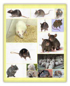 tipos de ratas y su significado en sueños