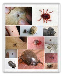 garrapatas e insectos