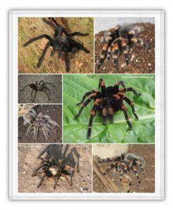 sueños con tarantulas